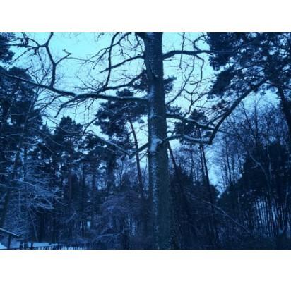 Ąžuolas ir žiemą – ąžuolas... Nepriklausomos Lietuvos Prezidento A. Smetonos pasodintas ąžuolas Palangos botanikos parke.