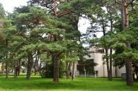 Taryba atsilaikė verslininkų spaudimui – šimtamečiai medžiai naikinami nebus
