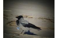 Juoda – reiškia varna? Apie mūsuose įprastą varnų šeimą – iš ornitologo lūpų
