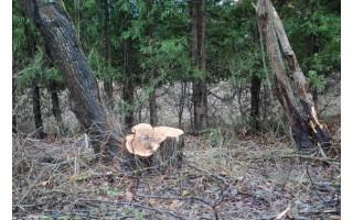 Kas ir kodėl Palangos Vėžių kvartale iškirto medžius?