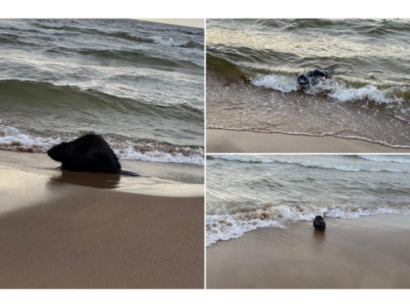 Palangoje – netikėtas svečias: ties Baltijos jūra užfiksuotas pasiklydęs bebras