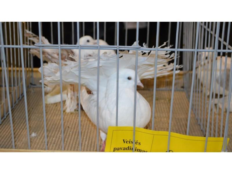 Jubiliejinėje parodoje – balandžių ir kitų dekoratyvinių paukščių įvairovė