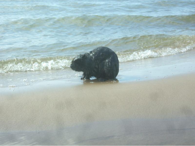 """Jauno bebro kančios Palangos paplūdimyje tapo poilsiautojų atrakcija, o gamtos tarnybos gūžčioja pečiais: """"Gal tas bebras – koks žioplys?"""""""