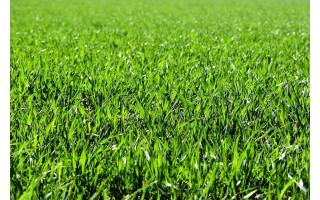 Kaip išsirinkti tinkamiausias sėklas vejai?