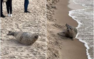 Po Palangos pliaže žmonių apsupto ruonio vaizdų – gamtininkų prašymas: palikime jį ramybėje
