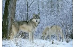 Gyvūnai žiemą dantimis nekalena