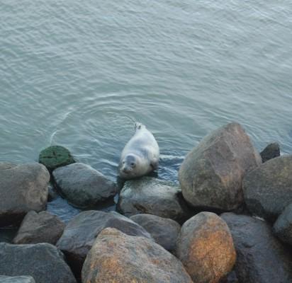 Tarp akmenų įsispraudęs ruoniukas sukėlė nerimo