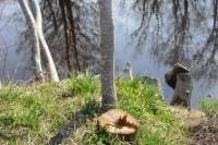 Šventosios paupyje nelegaliai iškirsti medžiai. Kas kaltas?