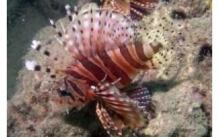 Atsargiai – mirtinos žuvys