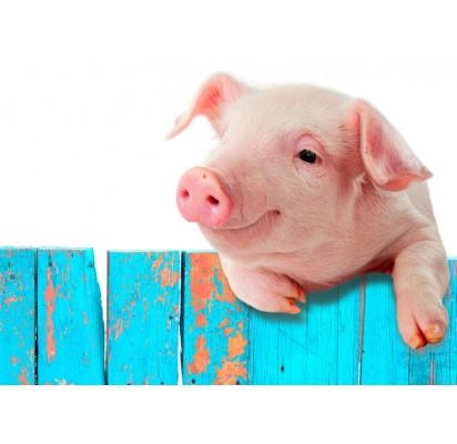 Nebijokite kiaulės metų:  kiaulė namuose – daug laimės juose!