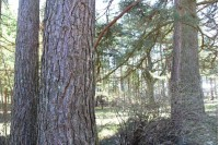 Žali taškai ant šimtamečių medžių Palangoje – mirties nuosprendis