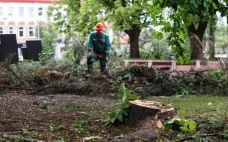 Palangoje pjovė nudžiūvusius medžius