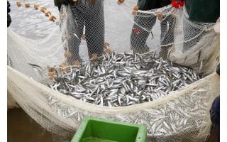 Įsibėgėjus stintų žvejybai – priminimas žvejams laikytis Mėgėjų ir limituotos žvejybos jūrų vandenyse taisyklių reikalavimų