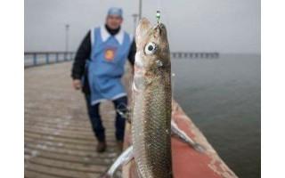Vyksta registracija į stintų žvejojimo varžybas